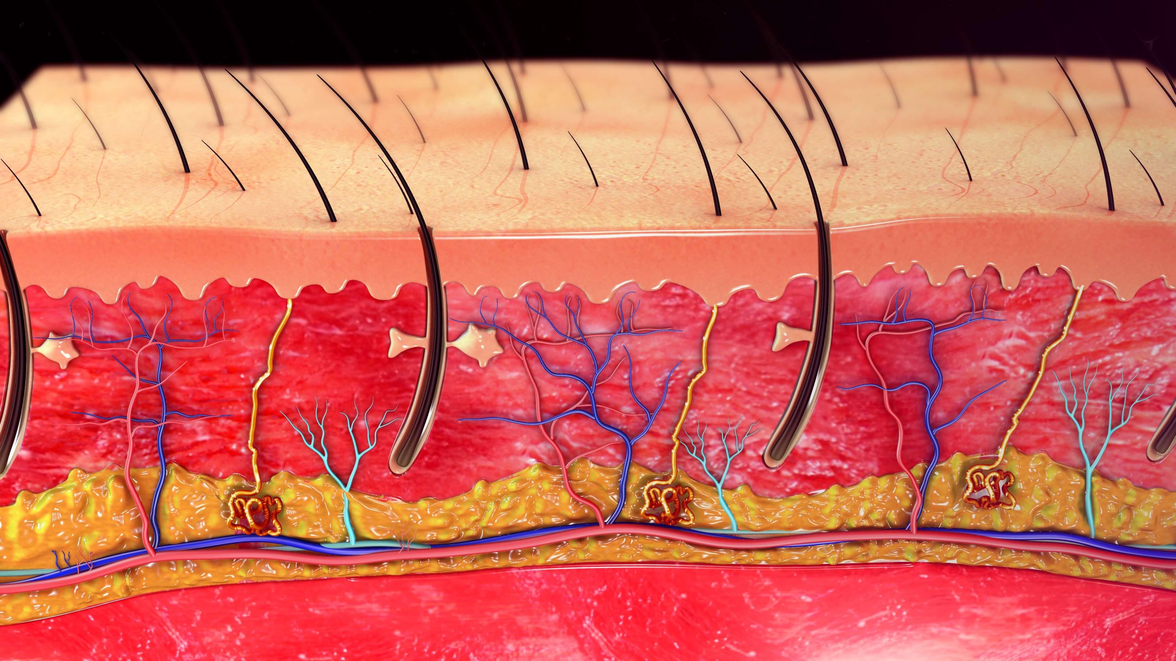 毛根と神経と血管
