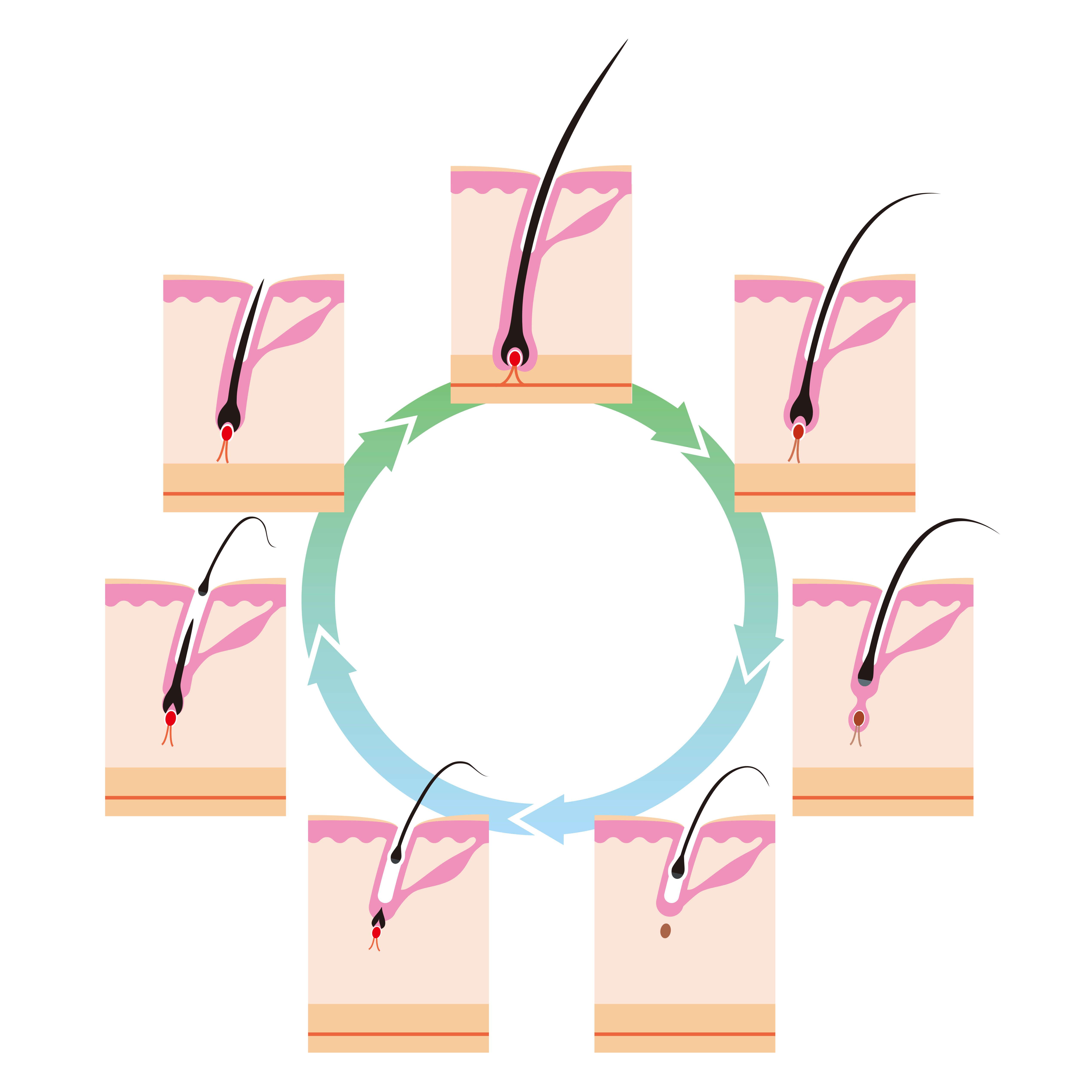 毛周期を循環する毛