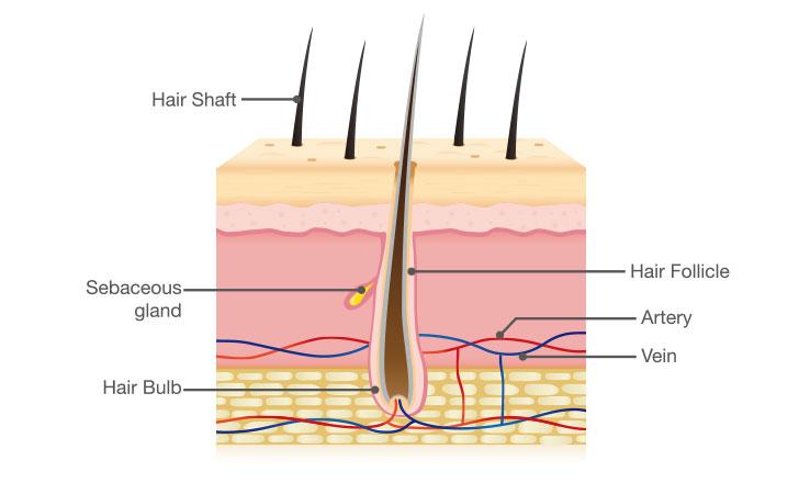 頭皮の断面図